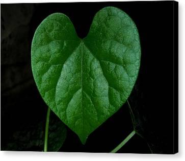 Heart-shaped Leaf Canvas Print