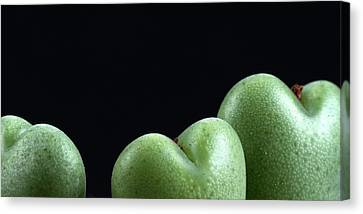Heart Shaped Lithops Canvas Print by Catherine Lau