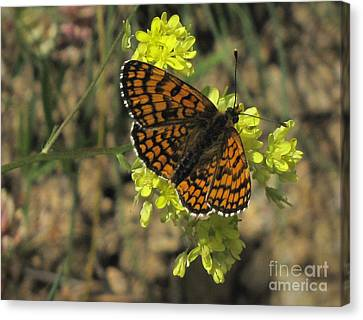 Canvas Print featuring the photograph Heath Fritillary Butterfly  by Jacqi Elmslie