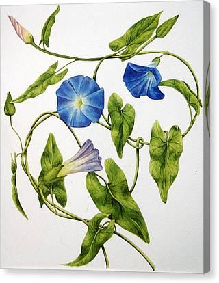Heavenly Blue Morning Glory Canvas Print by Veronika Logar