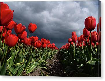 Heavy Clouds Over Red Tulips Canvas Print by Mihaela Pater