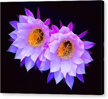 Hedgehog Cactus Flower Canvas Print