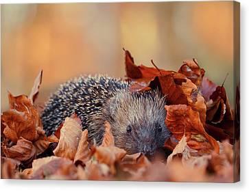Hedgehog Hiding Canvas Print