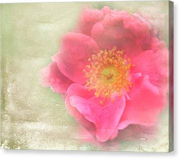 Heirloom Rose Canvas Print by Catherine Alfidi