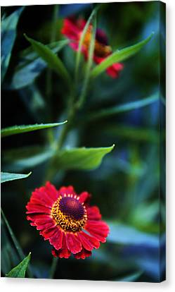 Helenium In Bloom Canvas Print by Jessica Jenney