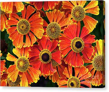 Asteraceae Canvas Print - Helenium Waltraut Pattern by Tim Gainey