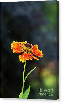 Asteraceae Canvas Print - Helenium Waltraut by Tim Gainey