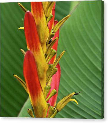Heliconia Canvas Print by Heiko Koehrer-Wagner