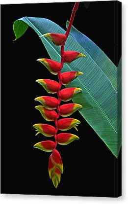 Heliconia Canvas Print by Larry Linton