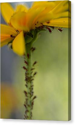 Heliopsis Infested Canvas Print by Janet Rockburn