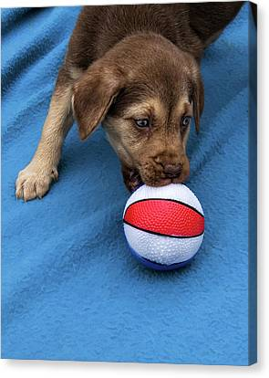 He'll Grow Into It - Puppy And Ball Canvas Print