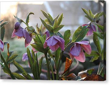 Helleborus Lenten Rose Canvas Print by Valerie Collins
