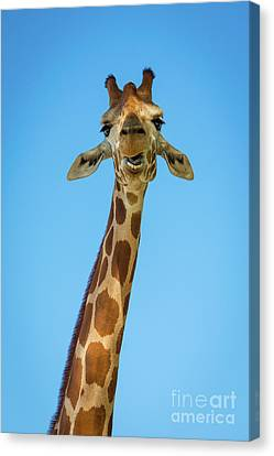 Hello Giraffe Canvas Print by Inge Johnsson