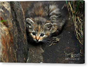 Hello Little Kitty Canvas Print by Eric Liller