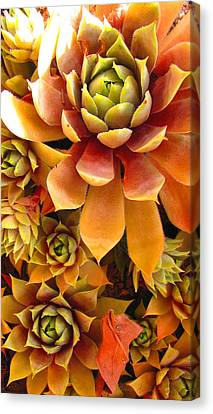 Canvas Print featuring the photograph Hen And Chicks - Perennial by Brooks Garten Hauschild