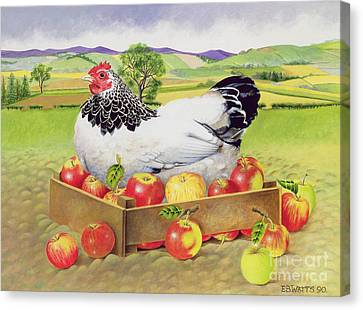 Hen In A Box Of Apples Canvas Print by EB Watts