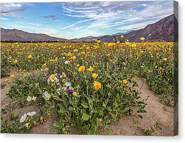 Henderson Canyon Super Bloom Canvas Print by Peter Tellone