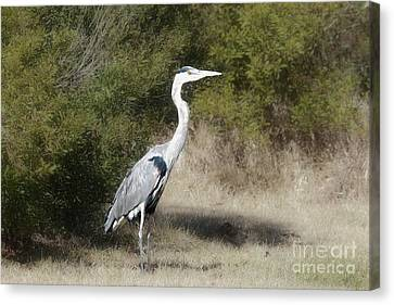 Canvas Print featuring the photograph Henry The Heron by Benanne Stiens