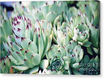 Hens And Chicks Plant Canvas Print