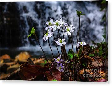 Canvas Print featuring the photograph Hepatica And Waterfall by Thomas R Fletcher