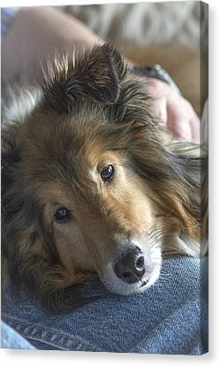 Shetland Sheepdog Canvas Print - Her Master's Lap by Pat Eisenberger