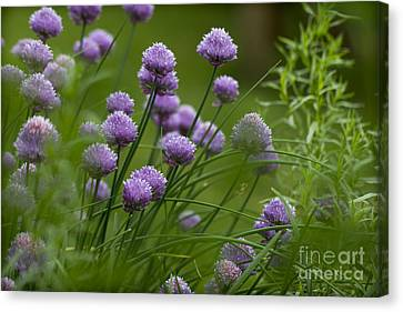 Herb Garden. Canvas Print