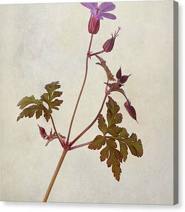Beautiful Canvas Print - Herb Robert - Wild Geranium  #flower by John Edwards