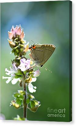 Herb Visitor Canvas Print by Debbie Green