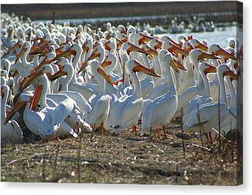 Herd Of Pelicans Canvas Print by Shari Morehead