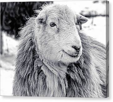 Herdwick Sheep Canvas Print by Keith Elliott