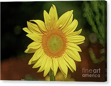 Canvas Print - Here Comes The Sunflower by Natural Focal Point Photography