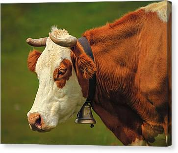 Hereford Cow Portrait And Bell Canvas Print