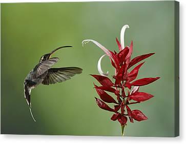 5dmk3 Canvas Print - Hermit Hummingbird And Red Flower by Juan Carlos Vindas