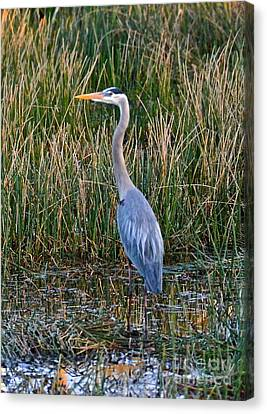 Heron At Sunset Canvas Print