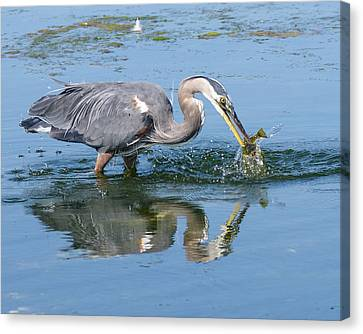 Great Blue Heron Catches A Fish Canvas Print by Keith Boone