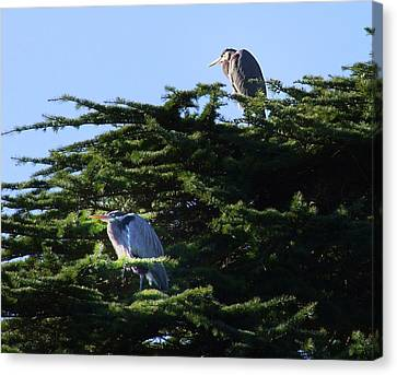 Heron Family At Rest Canvas Print by George Cousins