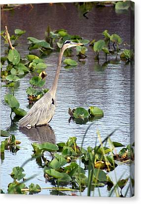 Heron Fishing In The Everglades Canvas Print by Marty Koch
