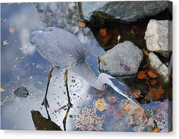 Heron Fishing Photograph Canvas Print by Don  Wright