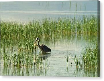 Heron Gets A Sunfish Canvas Print by Jeff Swan