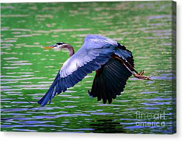Heron In Flight At Honor Heights Park Canvas Print