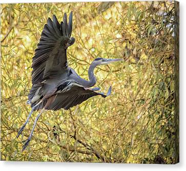 Heron In Flight Canvas Print by Keith Boone