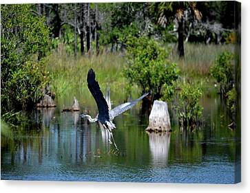 Heron In Flight Canvas Print by Tamra Lockard