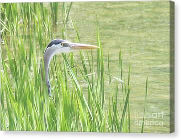 Heron In The Reeds Canvas Print by Anita Oakley