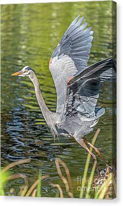 Heron Liftoff Canvas Print by Kate Brown