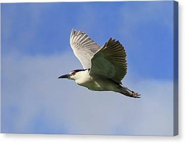 Heron On The Wing Canvas Print by Shoal Hollingsworth