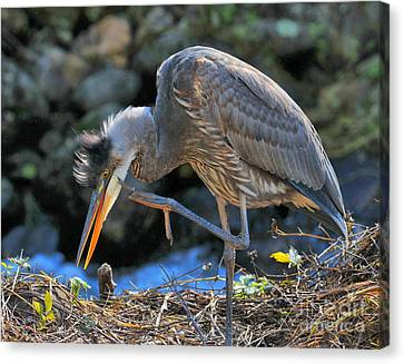 Canvas Print featuring the photograph Heron Scratch by Debbie Stahre