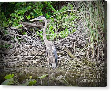 Heron Stand Canvas Print