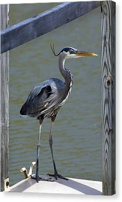 Heron Standing Canvas Print