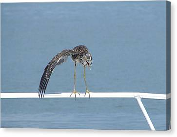 Heron Stretching Canvas Print