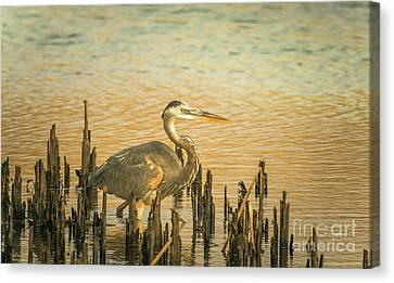 Heron Wading Canvas Print by Robert Frederick